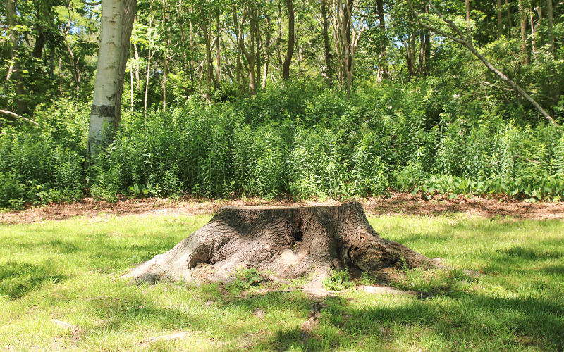 Tree Services in Maidstone, Kent - Stump Grinding Tree Surgery - G.Shrubb